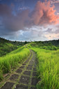 A path meanders through tall blades of grass. Bali, Indonesia.