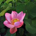 A lotus flower opens in a bali pond.