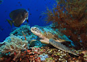 A turtle rests on the sea wall at Menjangan Island, Bali, Indonesia.