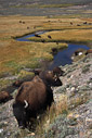Grazing buffalo wander a Yellowstone prairie. Yellowstone National Park, Wyoming.