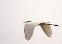 A Great Egret takes flight through the early morning fog. San Diego, California.