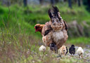 A Mother Hen keeps a close eye on her chicks