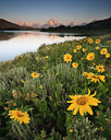 Sunflowers appear to be waking up at the Oxbow Bend, Grand Teton National Park, Wyoming.