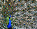 A male peacock shows off.