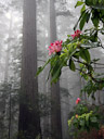Mist fills the Lady Bird Johnson Grove. Redwood National Park, California.